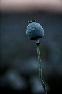 Poppy plants, Papaver somniferum, seed vessel, in the evening light - NOF00028