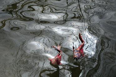 Origami cois, pond - PSTF00147