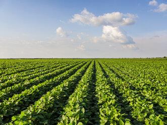 Serbia, Vojvodina. Green soybean field, Glycine max - NOF00030