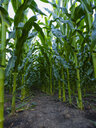Serbia, Vojvodina. Green corn stems in a row, Zea mays - NOF00033