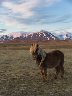 Icelandic horse and distant mountains, Melasveit, Iceland - CUF35088