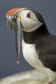 Atlantic Puffin (Fratercula arctica) with fish in mouth, Farne Islands, Northumberland, England - CUF35816