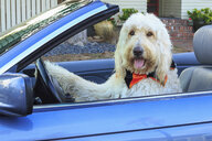 Shaggy white doodle dog driving convertible - ISF14436