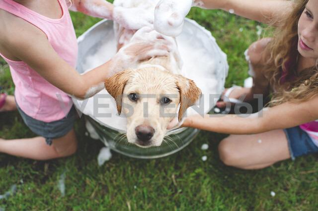 Labrador Retriever puppy in bucket looking up - CUF36865
