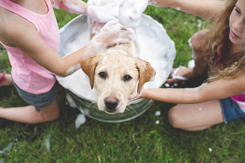 Labrador Retriever puppy in bucket looking up - CUF36865