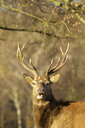 Red Deer - Cervus elaphus - CUF37300