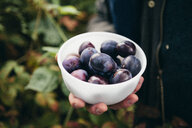Person holding bowl of fresh plums - CUF37405
