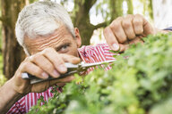 Mature man pruning bush with secateurs - CUF37756