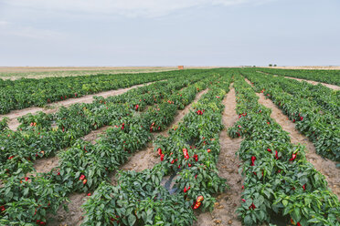Serbia, field, red bell peppers - NOF00040