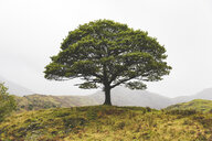 United Kingdom, England, Cumbria, Lake District,  lone tree in the countryside - WPEF00541