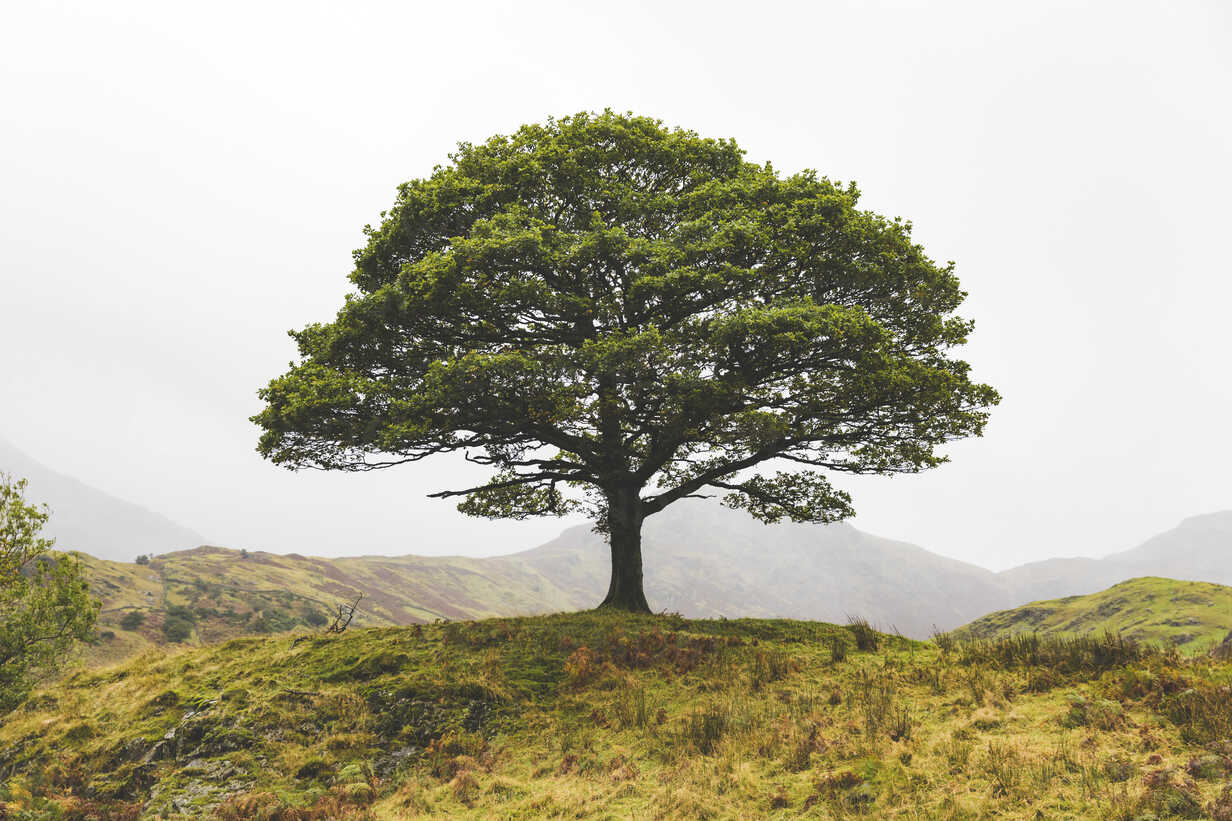 United Kingdom, England, Cumbria, Lake District,  lone tree in the countryside - WPEF00541 - William Perugini/Westend61