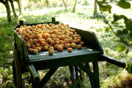 Full wheelbarrow of harvested apricots in farm orchard - ISF14655