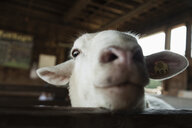 Goat in pen being inquisitive - ISF14921