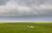 View of sheep grazing in seafront field, South Iceland, Iceland - CUF38427