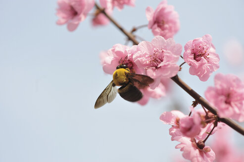 Close up of bee feeding on peach blossom - CUF38454