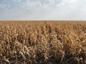 Serbia, Vojvodina, maizefield - NOF00046