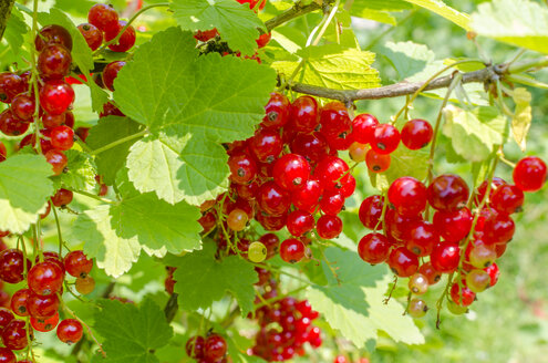 Red currants on shrub - MHF00438