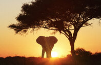 Silhouetted african elephant at sunset, Etosha National Park, Namibia - CUF38947