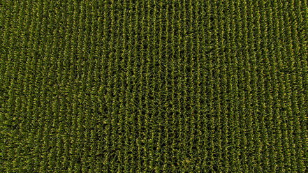 Serbia, Vojvodina, Aerial view of green corn field - NOF00051