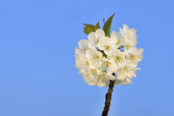 White blossoms of cherry tree against blue sky - RUEF01896