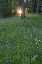 Italy, Dolomites, Cortina d´Ampezzo, wild flower meadow at forest edge  by sunset - RUEF01899