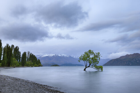 New Zealand, South Island, tree growing in Lake Wanaka - RUEF01911