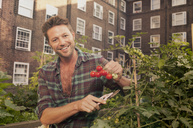 Mid adult man harvesting tomatoes on council estate allotment - CUF39962