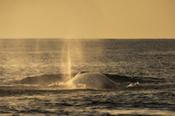 Fin whale blowing water - CUF40266