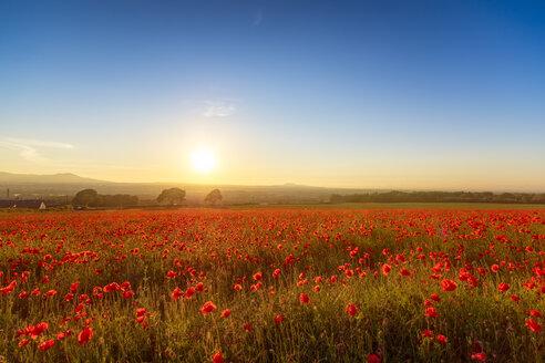 UK, Scotland, Midlothian, Poppy field at sunset - SMAF01051
