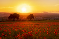 UK, Scotland, Midlothian, Poppy field at sunset - SMAF01054