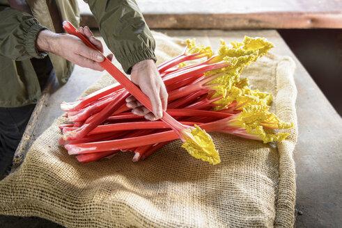Farmer inspecting rhubarb - CUF40563