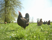 Small group of  free range hens in field - CUF41490