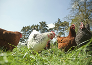 Small group of  free range hens in grass - CUF41493