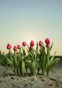 Close up of tulip field, Espel, Noordoostpolder, Netherlands - CUF41687