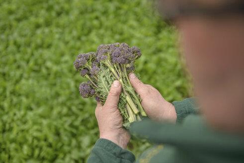 Farmer inspecting organic purple sprouting broccoli, close up - CUF41888