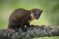 UK, Scotland, pine marten on tree trunk - MJOF01516