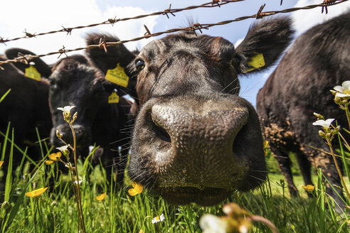 Cow's nose close up - CUF43026