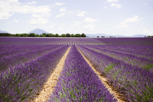 France, Provence, Valensole plateau, Infinite purple fields of blooming lavender in summer - GEMF02123