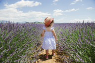 France, Provence, Valensole plateau, rear view of toddler girl in purple lavender fields in the summer - GEMF02141