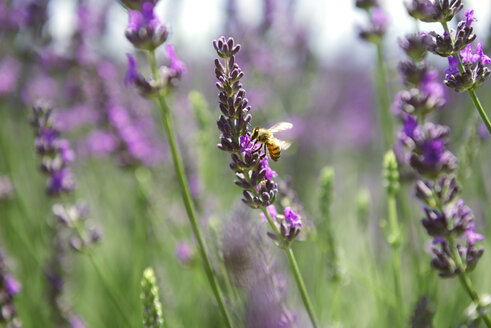 France, Provence, close-up of bee on a lavender flower in the summer - GEMF02147