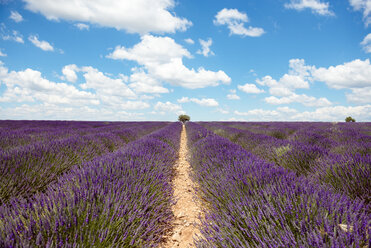 France, Provence, Valensole plateau, Infinite purple fields of blooming lavender in summer - GEMF02162