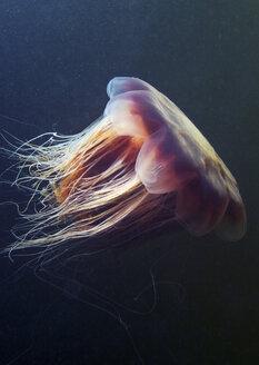 Lion's mane jellyfish (Cyanea capillata) - CUF43565