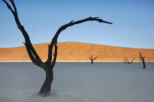 Dead camelthorn trees, Acacia erioloba, in the Dead Vlei at Sossusvlei  in Namib-Naukluft National Park, Namibia - MINF00836