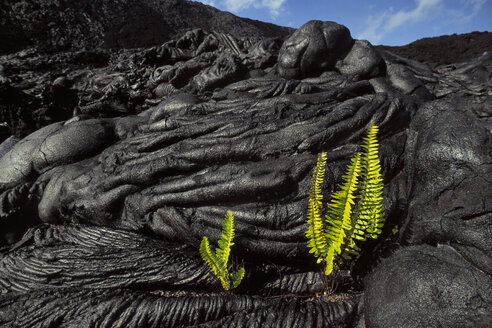 Ama'u ferns sprouting in cooled lava cracks, Sadleria cyatheoides, Hawaii Volcanoes National Park, Hawaii - MINF00839