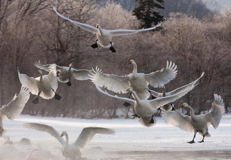 Whooper swans, Hokkaido, Japan - MINF00949