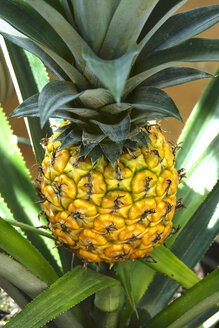 Pineapple growing on shrub - JTF01027