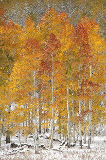 Maple and aspen trees in full autumn foliage in woodland. - MINF01457