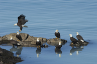 A group of bald eagles, Haliaeetus leucocephalus, perched on rocks by water. - MINF01553