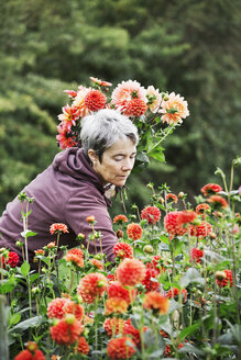 A woman cutting flowers in an organic commercial plant nursery flower garden. - MINF01658