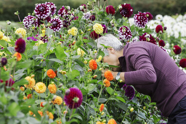A woman working in an organic flower nursery, cutting flowers for flower arrangements and commercial orders. - MINF01664